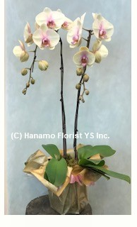 ORCH713  2 premium single coloured Orchid plants