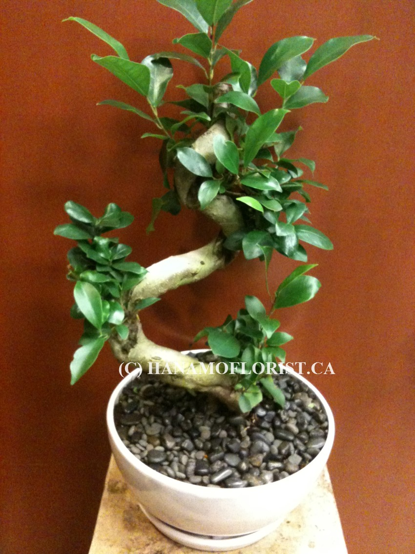 BONS122 BONSAI Microcarpa for Indoor 15-20""
