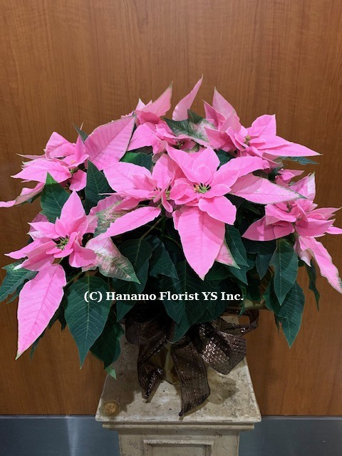 CMAS320 PRINCETTIA New Cute Pink Poinsettia Medium in Pot