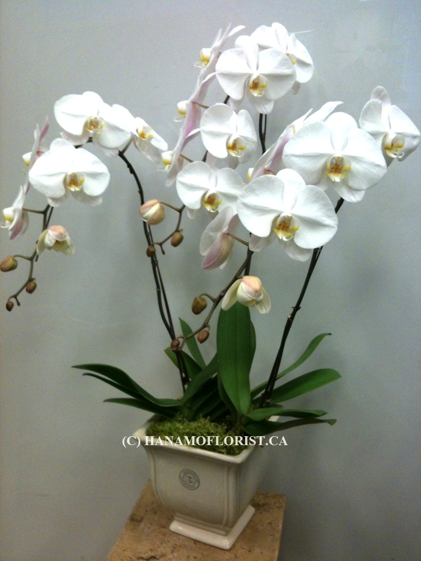 ORCH102 3 Premium White Orchid Standard Size in Pot/Glass