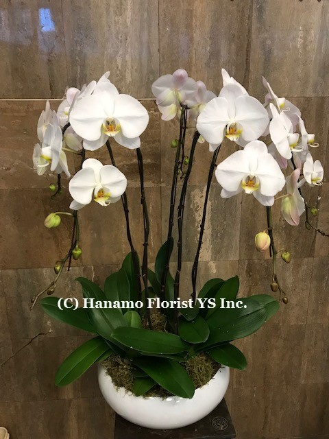 ORCH115. 5 Premium White Orchids in a quality ceramic bowl