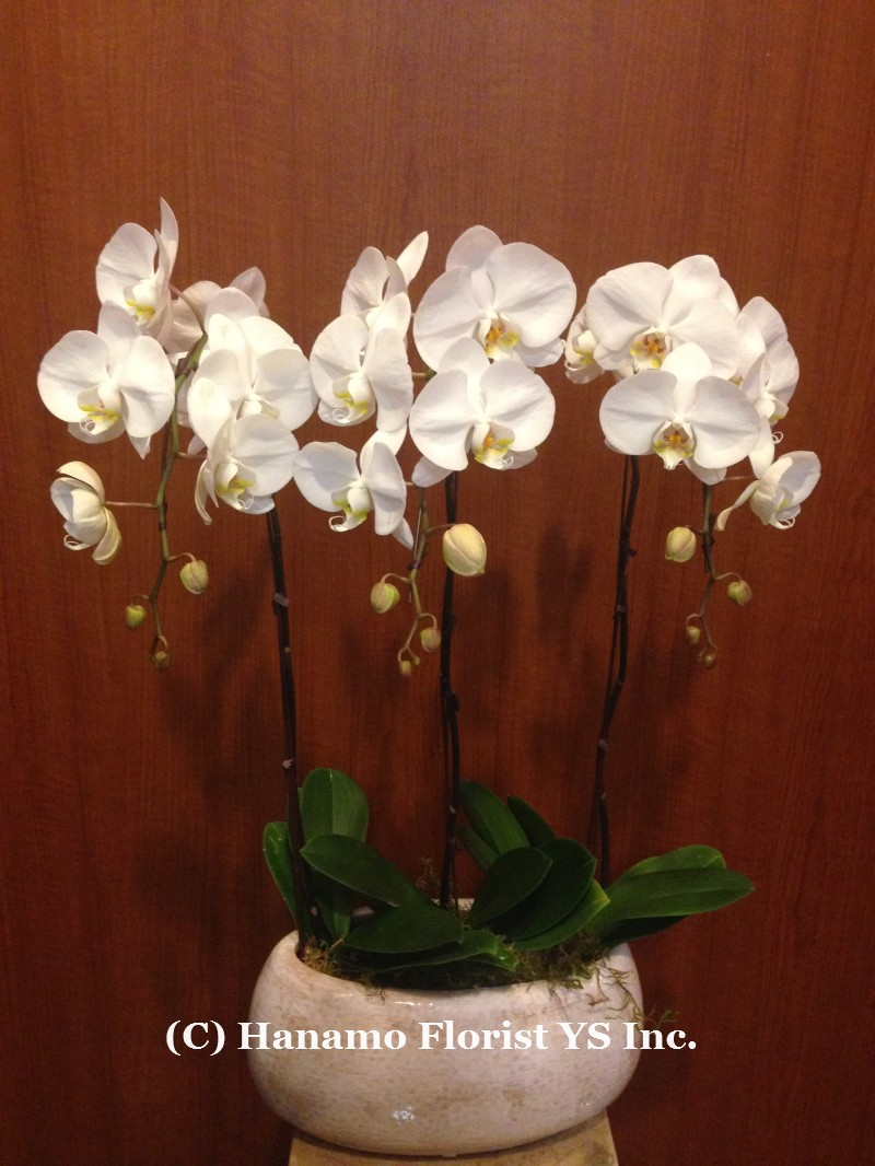 ORCH124  3 Premium White Orchid in Ceramic Pot - Click Image to Close