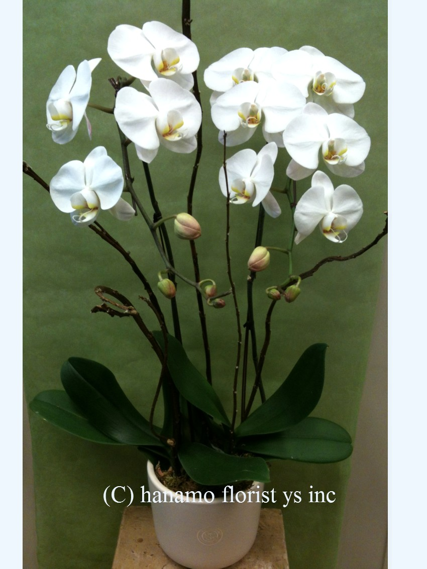 ORCH324 2 Premium White Orchid Standard Size in Pot/Glass