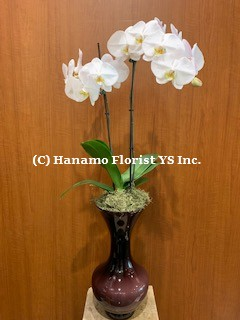 ORCH711 SALE - Orchid in a decorative Glass Vase