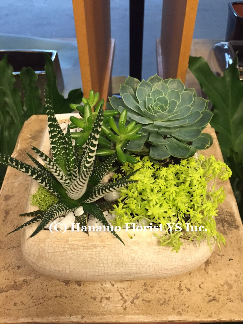 PLAN1129 Succulent arrangement in round bowl