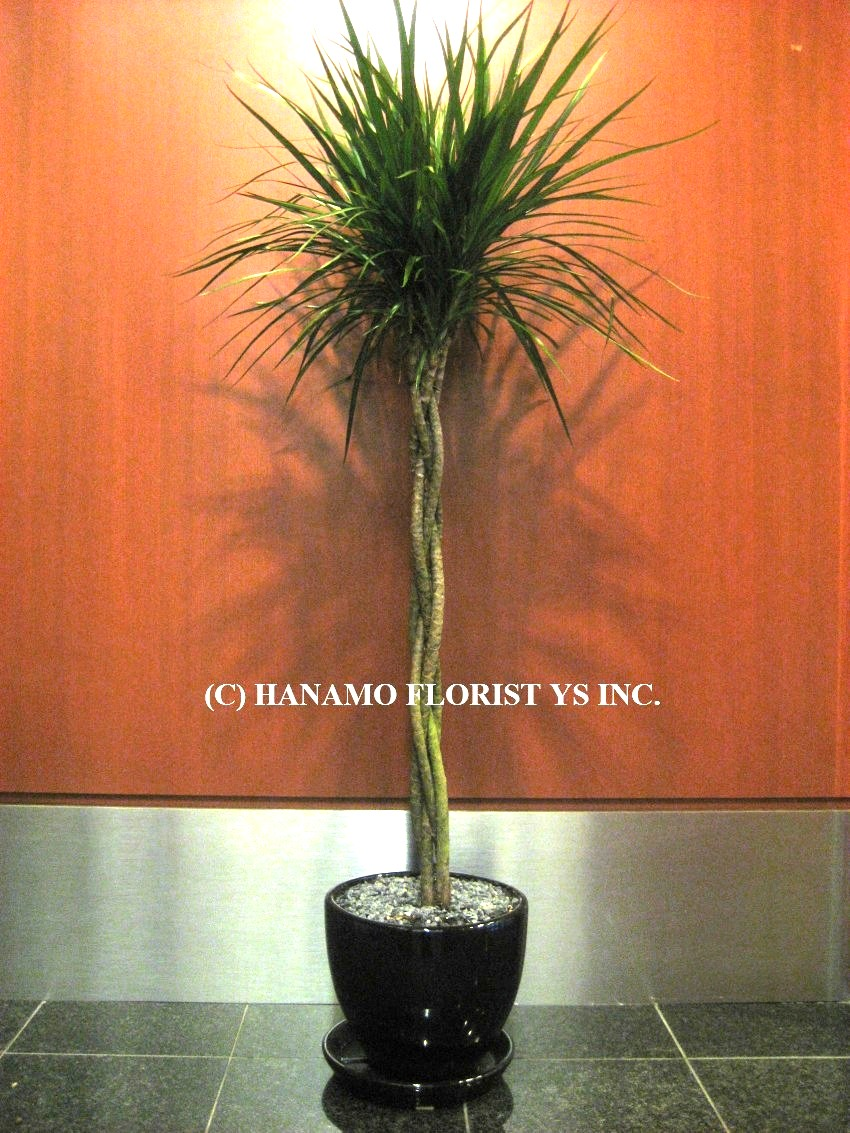 PLAN200 4.5 Feet Dracaena Marginata Topiary in pot