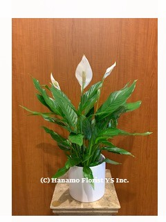 PLAN725 Air-Purifying Peace Lily Plant in Ceramic Pot