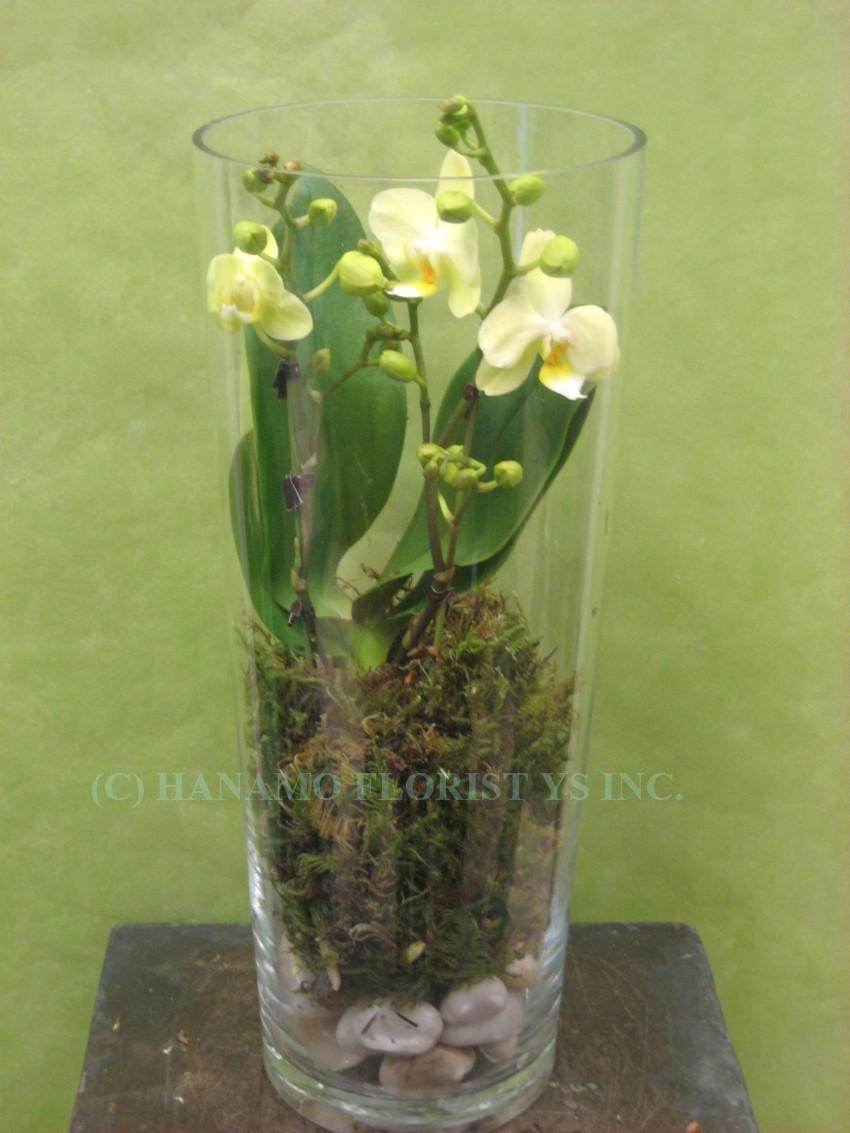 Orchids Plants Hanamo Florist Online Store Vancouver
