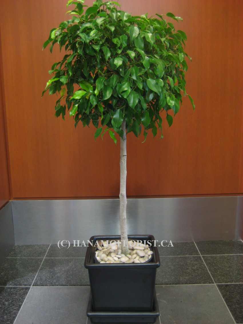 PLAN000 4.5 feet Ficus Benjamin in Ceramic Pot
