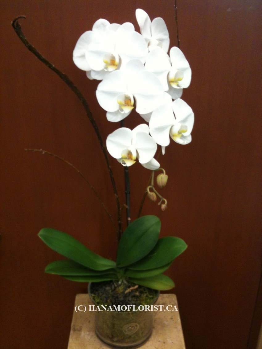 ORCH005 Premium White Orchid Standard Size in Vase or Pot