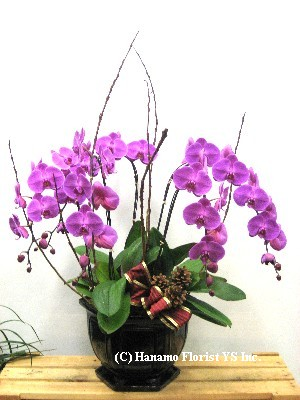 ORCH389 Five Phalaenopsis Orchid Plants in a Ceramic Pot
