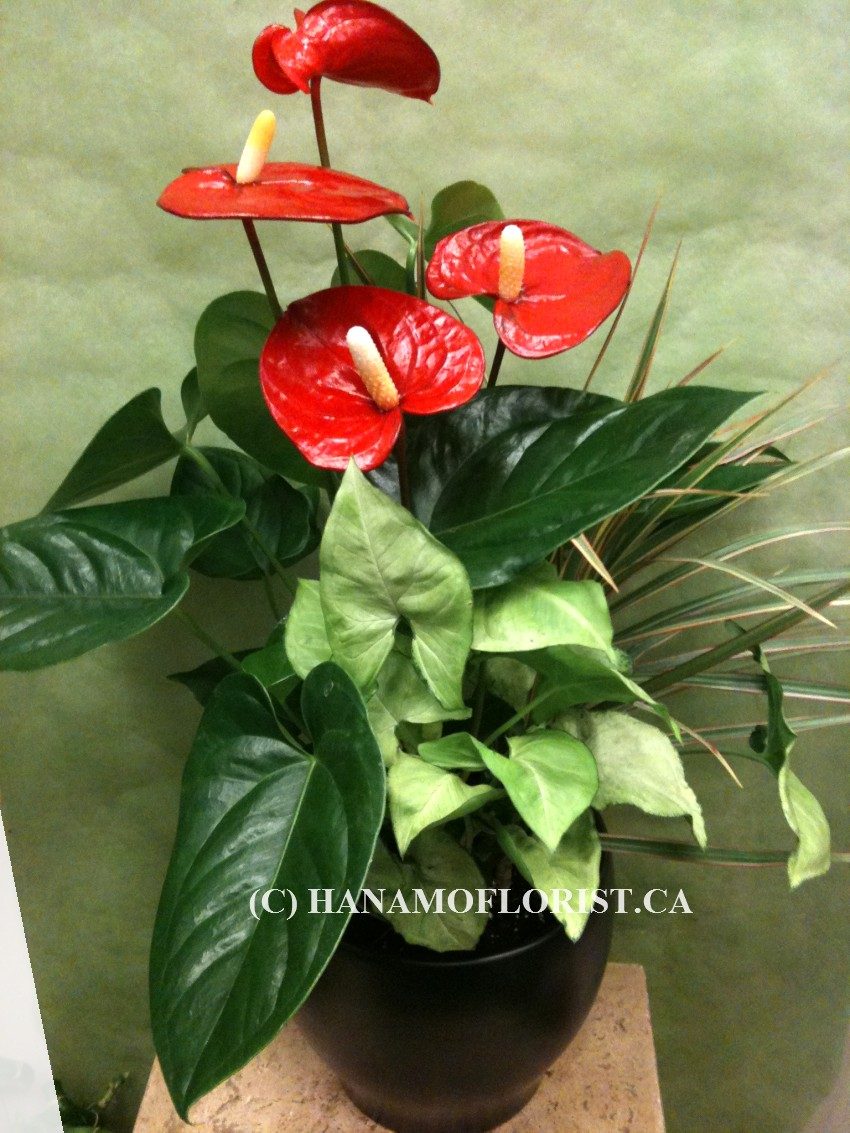 PLAN223 Mixed Anthurium Plants in 7 inch Pot