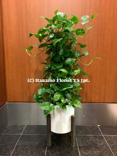 PLAN719 SALE - Air-Purifying Pothos Plant in Ceramic Pot 5FT